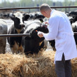 Male cow veterinarian — Stock Photo