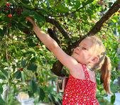 Child picking cherries — Stock Photo