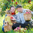 Family harvests of apples — Stock Photo