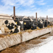 Feeding cows on farm in winter — Stock Photo #38607953