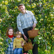 Family in harvest apples — Stock Photo