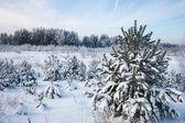 Forêt de pins d'hiver — Photo