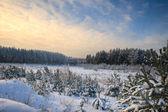 сосновый лес зимой — Стоковое фото