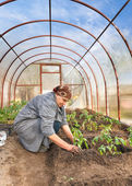 Tomato plants in the ground Greenhouses — Stock Photo