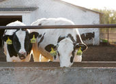 Group of cows — Stock Photo