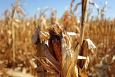 Corn cob and drought — Stock Photo