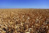 Corn field in bad shape — Stock Photo