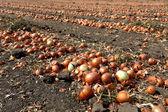 タマネギ畑で玉ねぎ — ストック写真