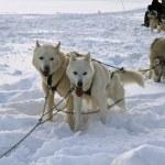 Sled dog racing  — Stock Photo #25621189