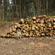 Logs of eucalyptus trees eucalyptus lumbering — Stock Photo