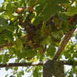 Grapes on the Vine — Stock Photo #43739515