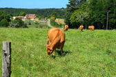 Cows in a meadow in the Périgord, France — Stock Photo