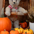 Misses Bear and Her Pumpkins — Stock Photo #14979163