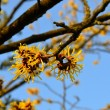 Witch Hazel — Stock Photo #33186019