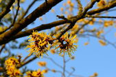 Witch Hazel — Stock Photo