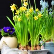 Easter flowers daffodills and snail — Stock Photo #34001411