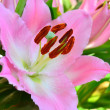 Pink lilly — Stock Photo
