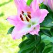 Pink lilly in garden — Stock Photo #34001543