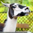 Stock Photo: White and black lama