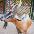 Horned goat — Stock Photo #12069692