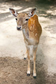 Baby deer — Stock Photo