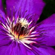 Clematis. — Stock Photo