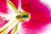 Striped yellow wasp. — Stock Photo