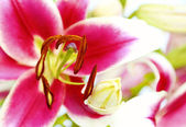 Vivid pink odorous Lily. — Stock Photo