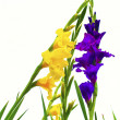 Gladiolus. — Stock Photo