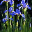 Stock Photo: Blue flowers Irises.