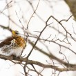Stock Photo: Small bird thrush.
