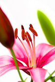 Stamens pink lilies. — Stock Photo