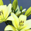 Two yellow lilies. — Foto de stock #23910547