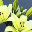 Stock Photo: Two yellow lilies.