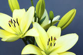 Two yellow lilies. — Stock Photo
