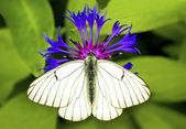 White Cabbage butterfly. — Stock Photo