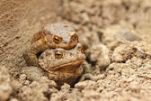 Toad the husband to his wife. — Stock Photo