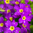 Flower Primrose. — Stock Photo