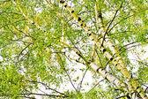 Drzew liściastych brzoza. — Zdjęcie stockowe