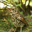 Stock Photo: Speckled bird thrush.