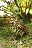 Speckled bird thrush. — Stock Photo