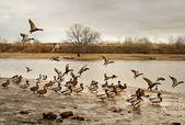 Flight of ducks. — Stock Photo
