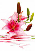Beautiful arrangement of lilies. — Stock Photo