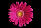 Flower gerbera. — Stock Photo