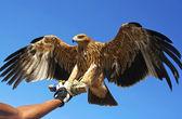 Falcon bird. — Stock Photo