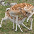 Stockfoto: Deer Sucking Milk