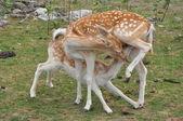 Deer Sucking Milk — Stock Photo