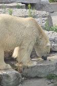 Polar Bear — Zdjęcie stockowe