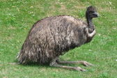 Emu Bird — Stock Photo