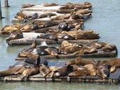 Sea Lions at Fisherman's Wharf in San Francisco — Stock Photo
